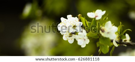 Cherry branch with large white flowers on a green blurred background.