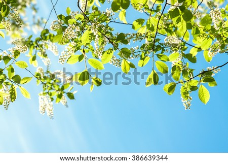cherry branches in white flowers blossom in the spring - stock photo