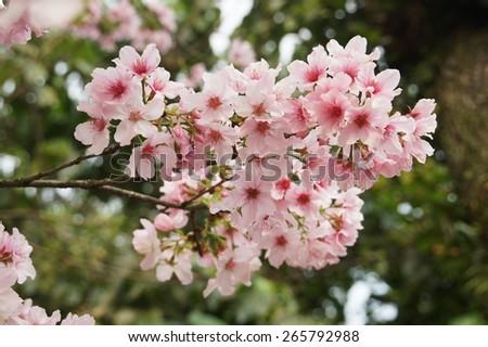 cherry flower blossom - stock photo