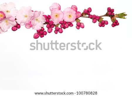 Cherry flower branch isolated on white. - stock photo