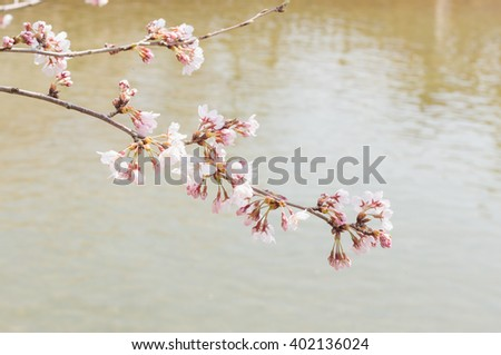 cherry flower over the river, japan sakura