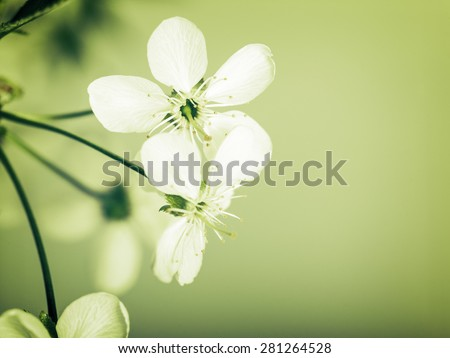Cherry flowers, abstract spring backgrounds