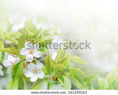Cherry flowers background in spring season. Closeup in selective and soft focus