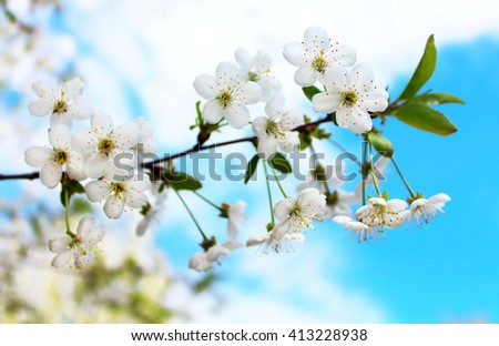 Cherry flowers blooming in springtime - stock photo
