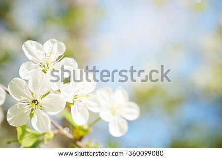 Cherry flowers in sunny day - stock photo