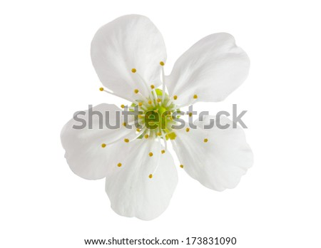 cherry flowers on a white background - stock photo