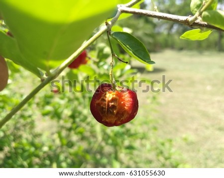 cherry fruit rot in the farm