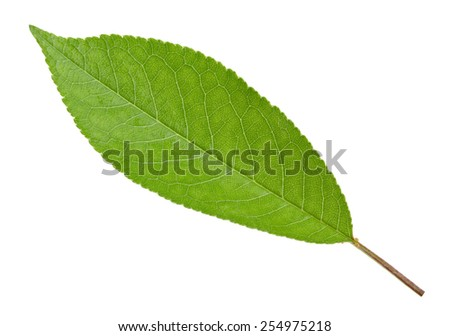 Cherry green leaf isolated - stock photo