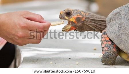 Cherry head red foot tortoise, Geochelone carbonaria - stock photo