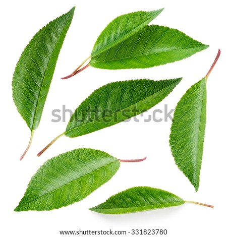 Cherry leaf. Collection isolated on white - stock photo
