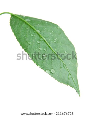 Cherry leaf on white background isolated