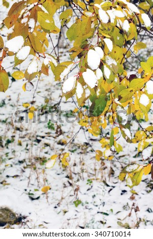 Cherry leaves on the branches in the snow, the winter outdoors. - stock photo