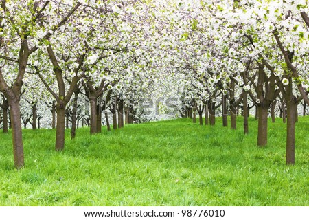 cherry orchard - stock photo