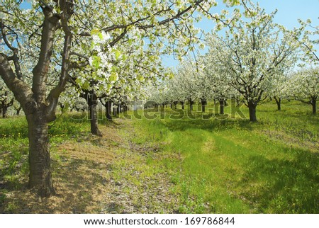 cherry orchard at full bloom - stock photo