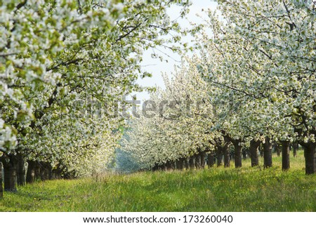 cherry orchard at spring