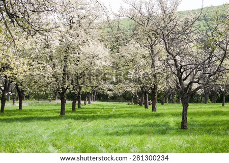 Cherry orchard avenue between old white flowering trees - stock photo