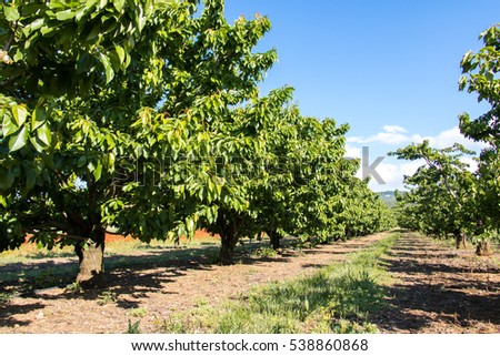 Cherry Orchard in Provence