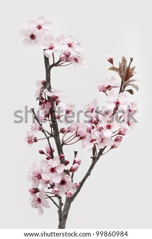 Cherry Plum or Myrobalan Blossoms on white background - stock photo