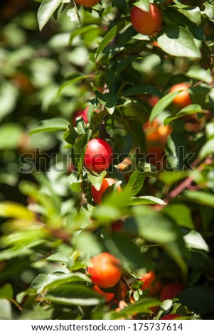Cherry-plum tree with fruits growing in the garden