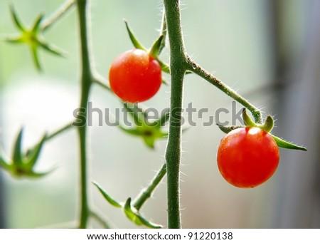 Cherry tomato on bed - stock photo