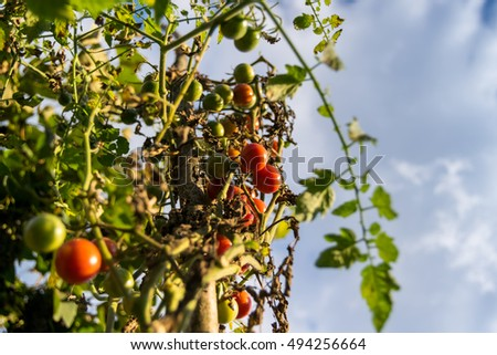 cherry tomatoes at the sunset