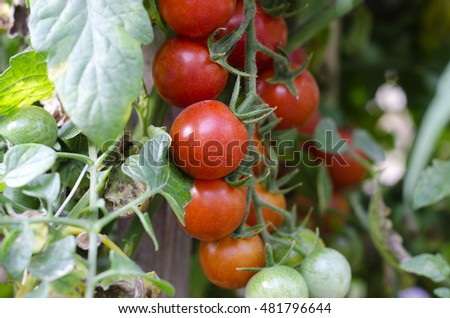 Cherry tomatoes growing on the bush