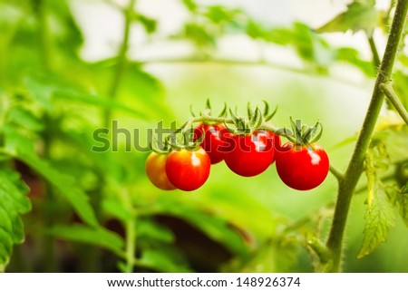 Cherry tomatoes in a garden (selective focus)  - stock photo