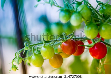 Cherry tomatoes in a vegetable garden