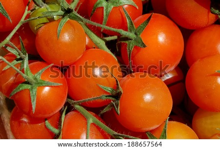cherry tomatoes on branches - natural light - stock photo