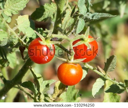 Cherry tomatoes on tree in a garden
