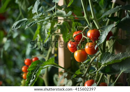 Cherry tomatoes plant growing. Homegrown organic food, tomatoes ripen gradually