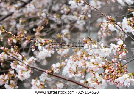 Cherry tree - stock photo