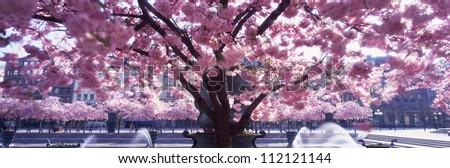 Cherry tree and fountain, scenic panorama - stock photo