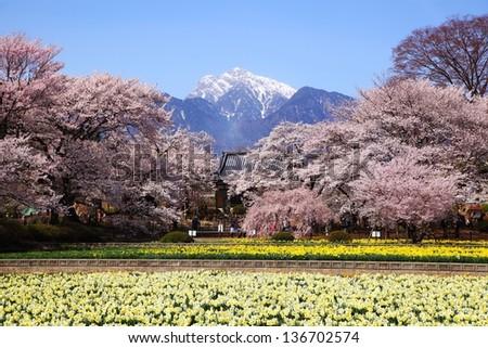 Cherry tree and narcissus field Mt.Kaikomagatake, Yamanashi, Japan - stock photo