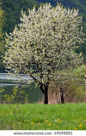 cherry tree bloom - stock photo