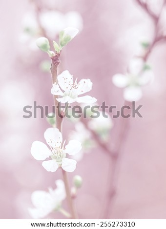 Cherry tree blossom, beautiful pink floral background, gentle little white flowers on tree twig, dreamy photo, fine art, spring nature concept - stock photo