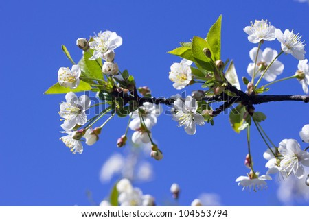 Cherry tree blossom close-up. Spring in the garden - stock photo