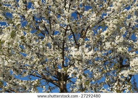 Cherry tree blossoming against blue sky