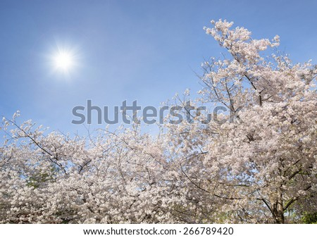 Cherry tree blossoms blooming in the spring. Blue sky background with the sun. - stock photo