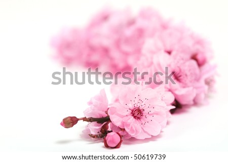 Cherry Tree Blossoms of Spring on White Background With Extreme Depth of Field - stock photo