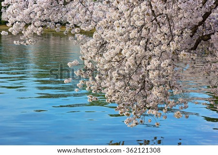 Cherry tree branch is leaning over the water of Tidal Basin in Washington DC, USA. Abundance of flowers during a peak of cherry trees blossom in US capital. - stock photo