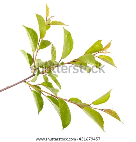 cherry tree branch isolated on white background