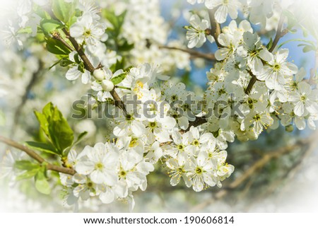 cherry tree branch with white flowers in spring