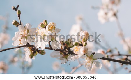 Cherry tree flower in a spring time - stock photo