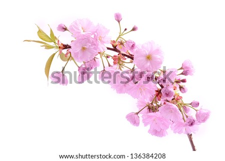 Cherry tree flower isolated on a white background
