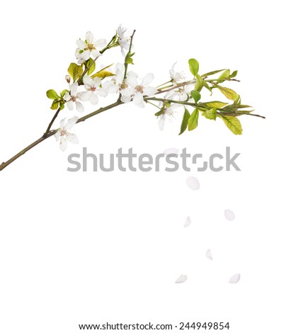 cherry tree flowers and falling petals isolated on white background