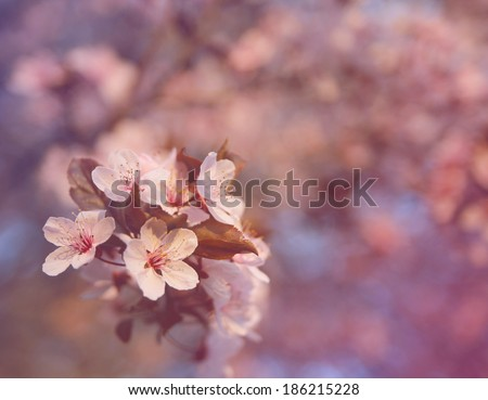 cherry tree flowers blooming in the spring  - stock photo