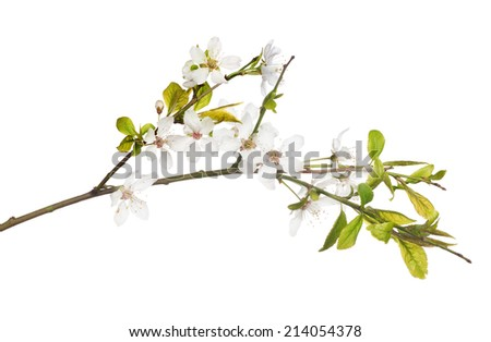 cherry tree flowers isolated on white background