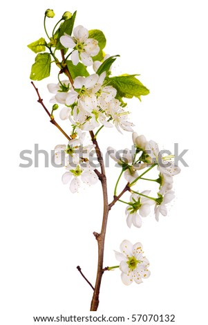 cherry-tree flowers isolated on white background - stock photo