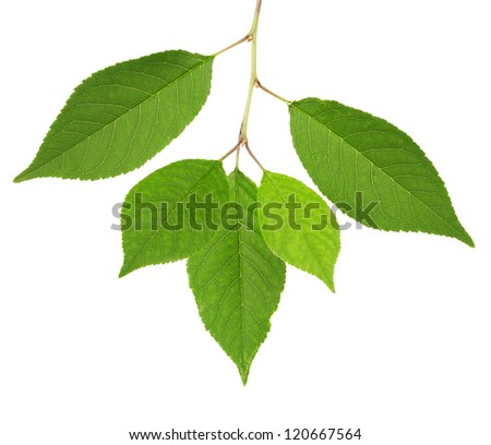 cherry tree green leaves isolated on white background - stock photo